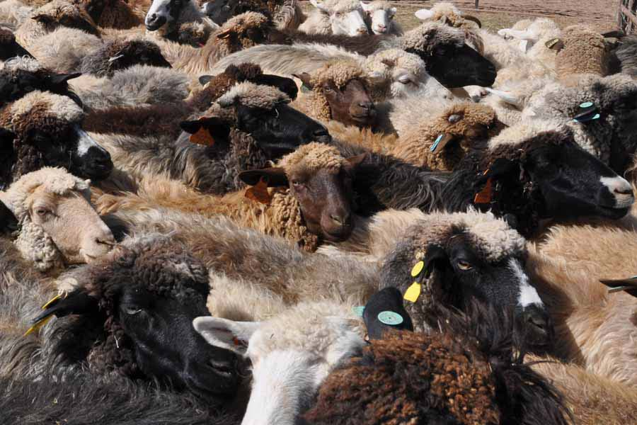 Imagine flocks of sheep in Nazareth