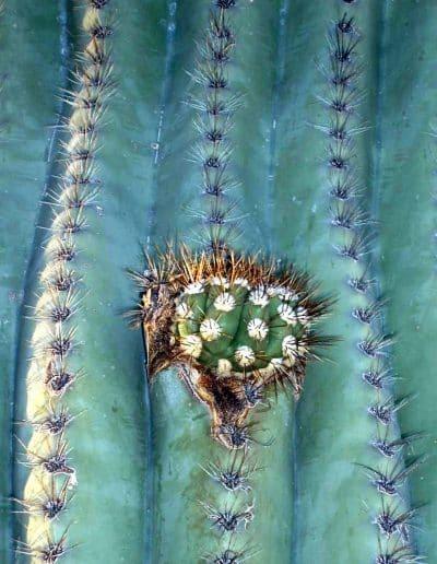Saguaro Heart
